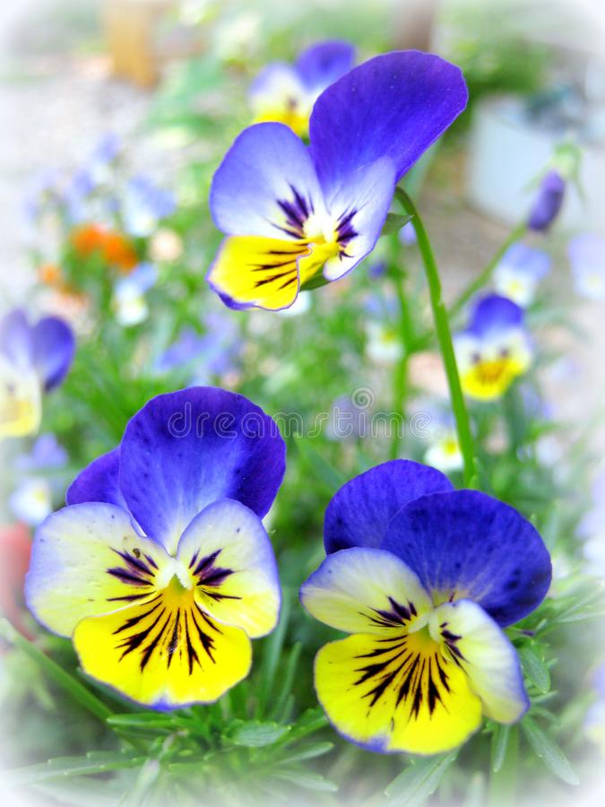 Three Pansies: Bright and Tender stock photos