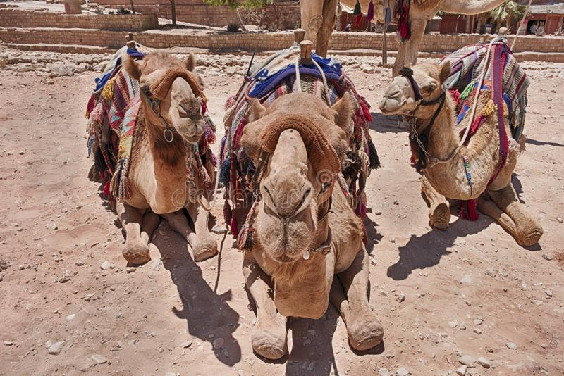 Close-Up Of Three Camels royalty free stock images