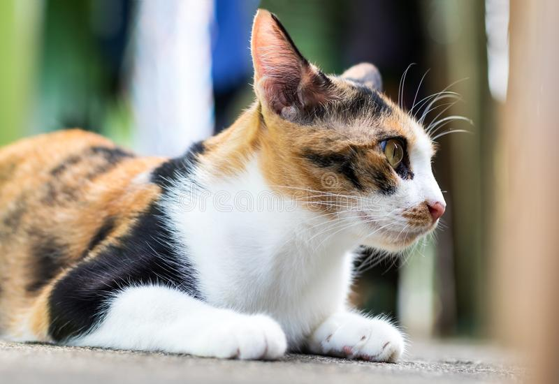 Close-up of three-colored cat staring side. royalty free stock photos