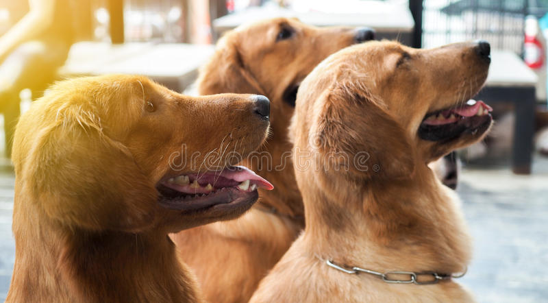 Close-up of three curious cute Golden Retriever dogs royalty free stock photo