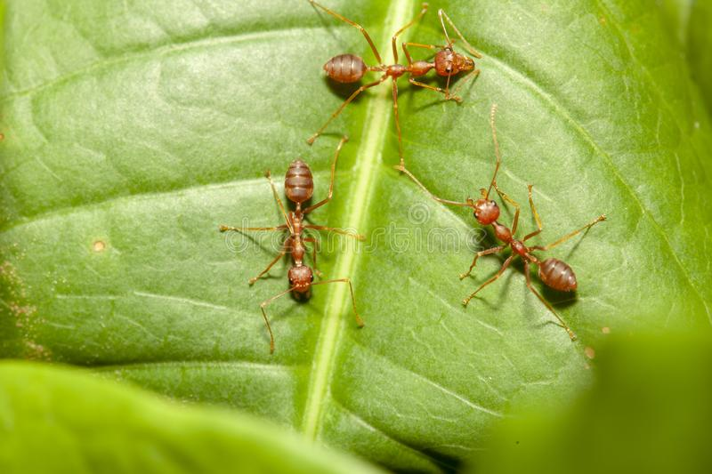 Close up three red ant on green leaf in nature at thailand. Macro, background, ants, closeup, animal, wildlife, insect, bug, walking, white, detail, leg stock photos