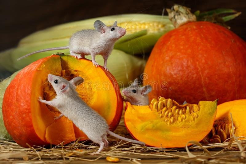 Close-up three young mice climbs on orange pumpkin in the warehouse. royalty free stock photo