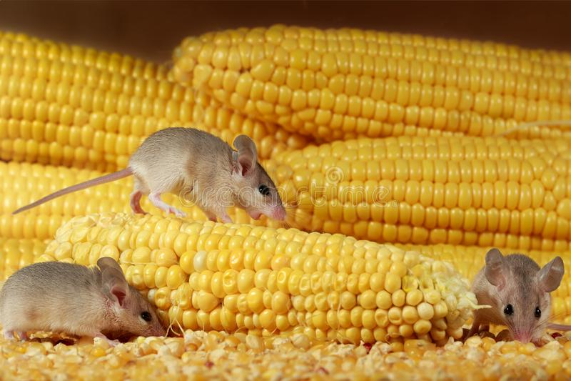 Close-up three young mice and yellow sweet corn cobs in the warehouse. royalty free stock images