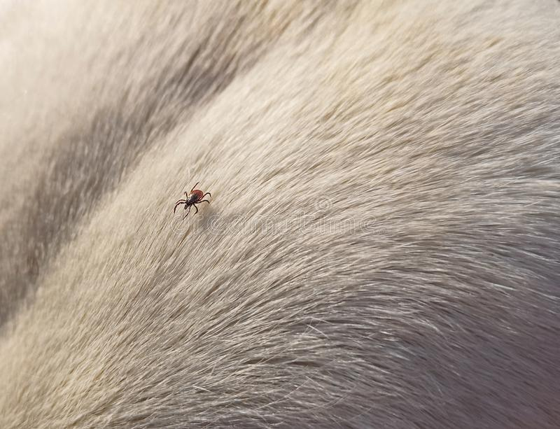 Close up of tick on the fur of a white dog.  stock image