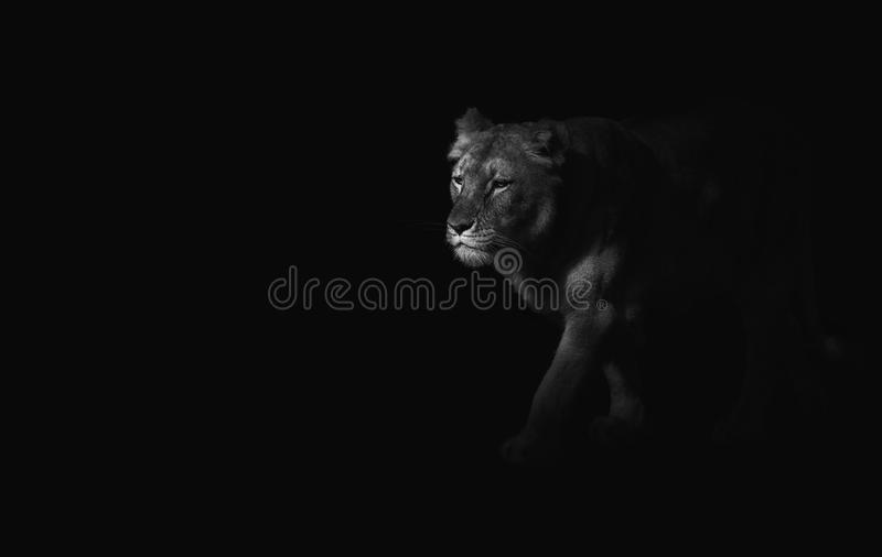 Close up on tiger on black background, black and white stock image