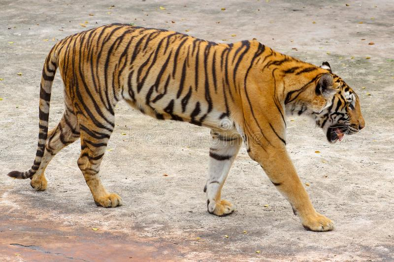 Close up tiger on cement floor in thailand. Animal, bengal, white, wildlife, striped, water, front, mammal, cat, animals, zoo, aggression, nature, natural, one stock photos