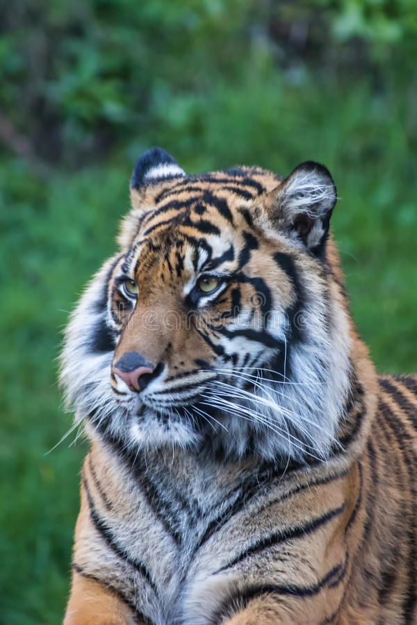 Calm tiger portrait. Close up of tiger`s face in front of green grass stock image