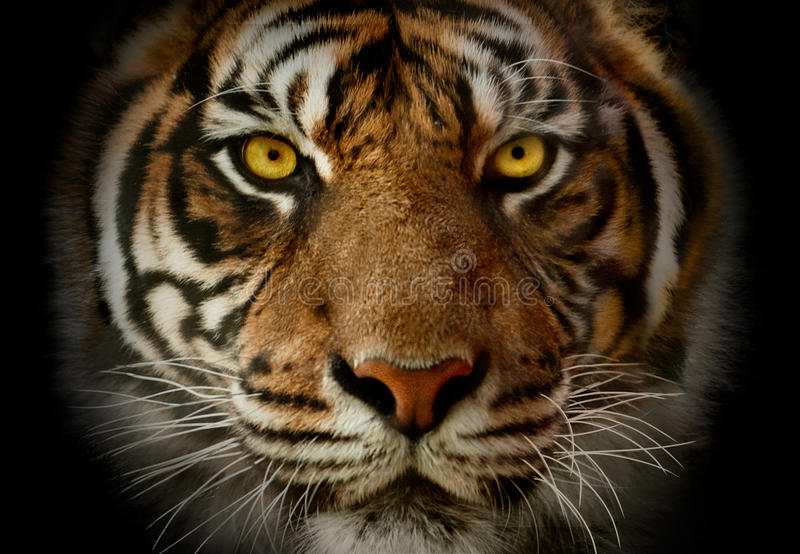 Close-up on a Tiger's face monochrome portrait with akcent on ye. The close-up on a Tiger's face monochrome portrait with akcent on yellow eyes royalty free stock images