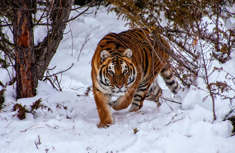 Tiger in the forest royalty free stock photography