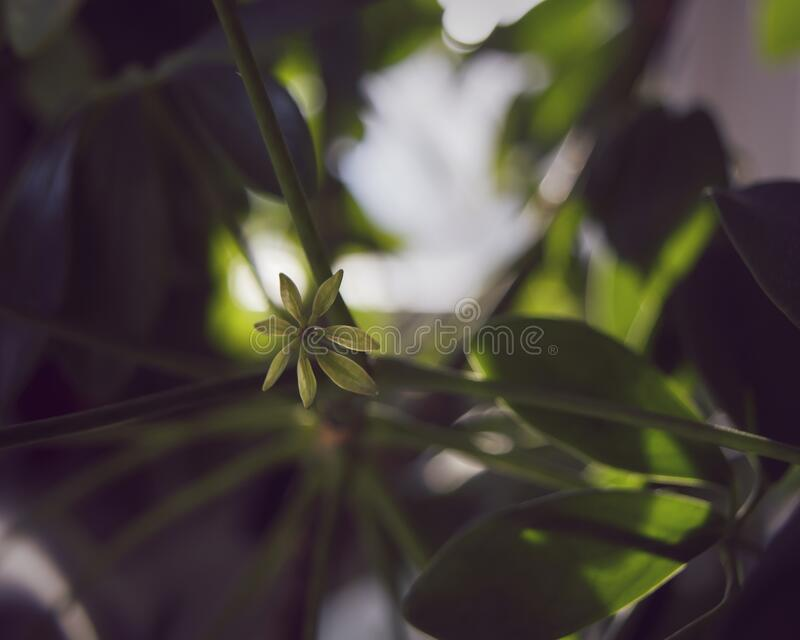 Close-up of tiny leaf of Dwarf umbrella tree. royalty free stock images