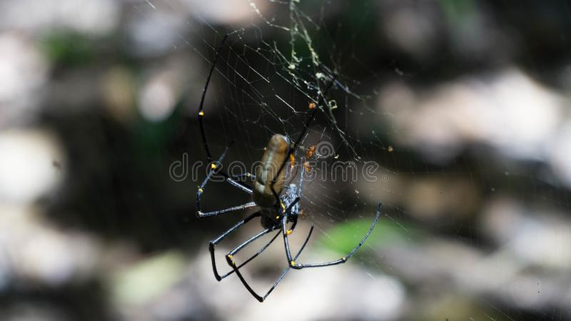 Close up to The Golden silk orb spider in Litchfield National Park, Australia royalty free stock photo