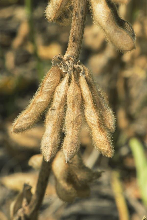 Download Soy Bean Pods stock image. Image of fertilize, harvest - 29741613