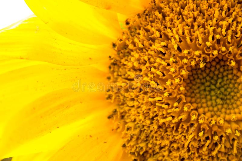 The proximity of the sunflower petals. Close-up pictures of yellow sunflower petals that bloom beautifully in the garden stock photo
