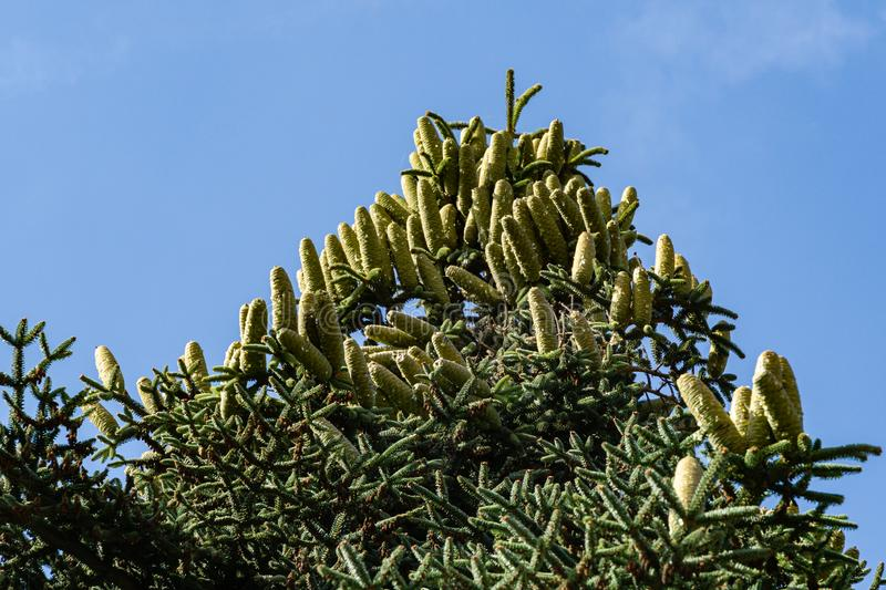 Close-up of top Numidian fir Abies numidica or Algerian fir branch with lot of large green female cones on blue sky background. In Feodosia city in Crimea royalty free stock photos