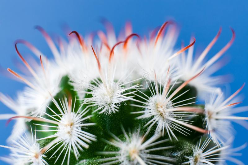 Close-up top part of elegant Echinocereus cactus with white thorns on blue background. royalty free stock image