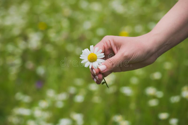 Close up top view of female hand holding one fresh daisy flower stock photo