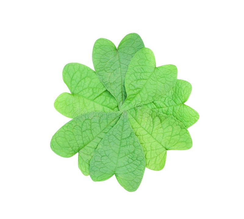 Top view of green heart shaped leaves in natural overlap patterns group isolated on white background with clipping path stock image