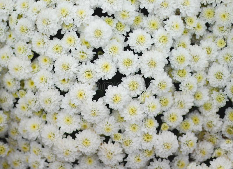 Top view huge colorful white chrysanthemum flowers group blooming in garden. Close up Top view huge colorful white chrysanthemum flowers group blooming in garden royalty free stock photography