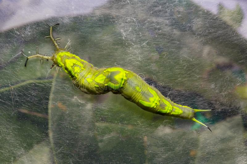Close up top view of  caterpillar of common pasha butterly  Herona marathus  r stock photo