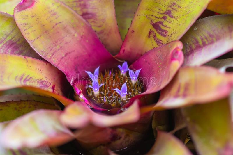 Close up top view little purple flower blooming in bromeliad with water tank inside and around the leaves.  stock photography