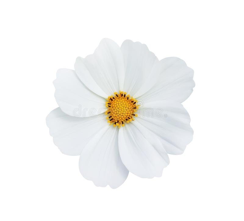Top view nature clean white cosmos flowers  or mexican aster with yellow pollen patterns blooming isolated on white background stock photography