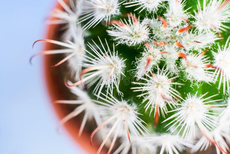 Close-up top view of part of exquisite Echinocereus cactus. stock image