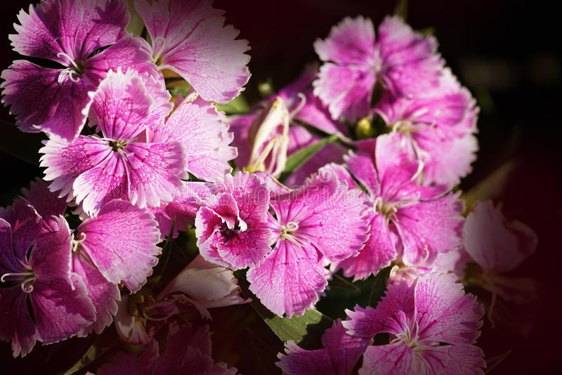 Close up top view pink Dianthus flower in garden with black background royalty free stock photography