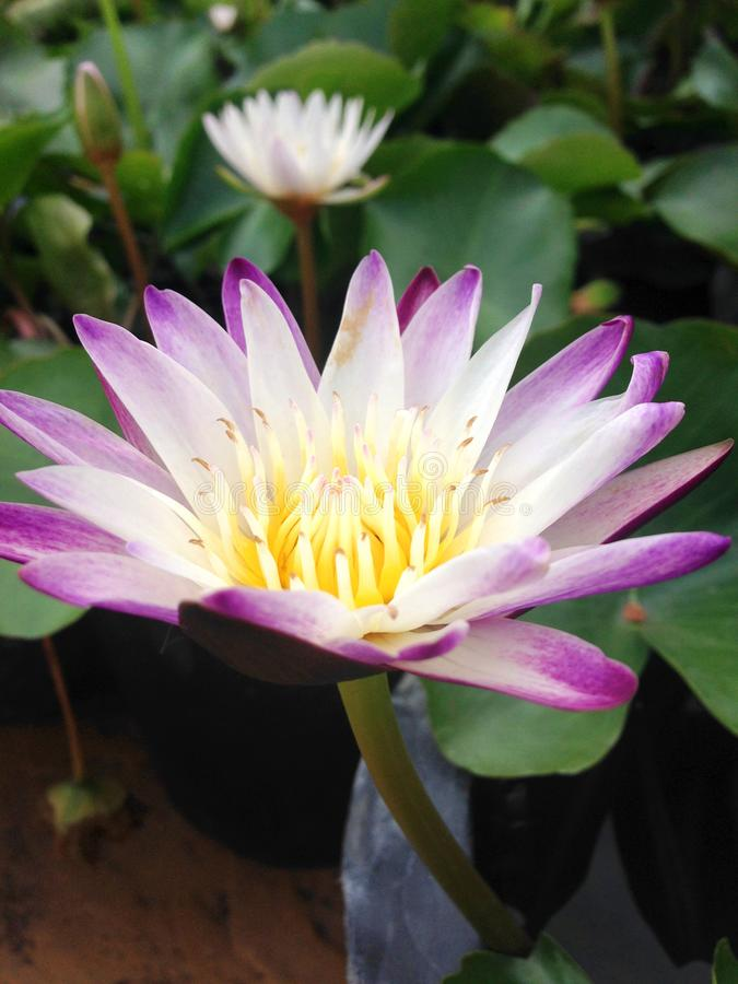 Close-up and top view light purple lotus flower is blooming and outstanding in pond  that a lot of lotus in background. stock photos