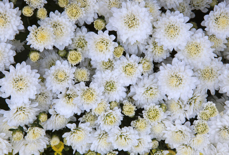 close up top view of White chrysanthemum flowers use as beautiful florist background,backdrop stock photos