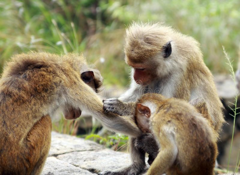 Close up of toque macaque monkey Macaca sinica family in Sri Lanka caring and delousing their bodies royalty free stock image