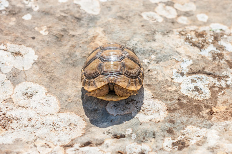 Close up of Tortoise laying on a cement floor at a reptile exhibit. Tortoise laying on a cement floor at a reptile exhibit royalty free stock photo