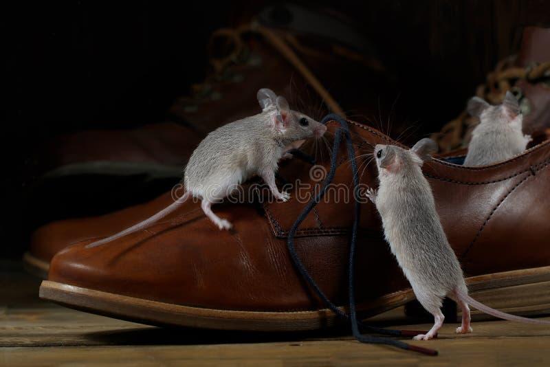 Close-up três ratos e sapatas marrons de couro nos assoalhos de madeira dentro do corredor imagens de stock