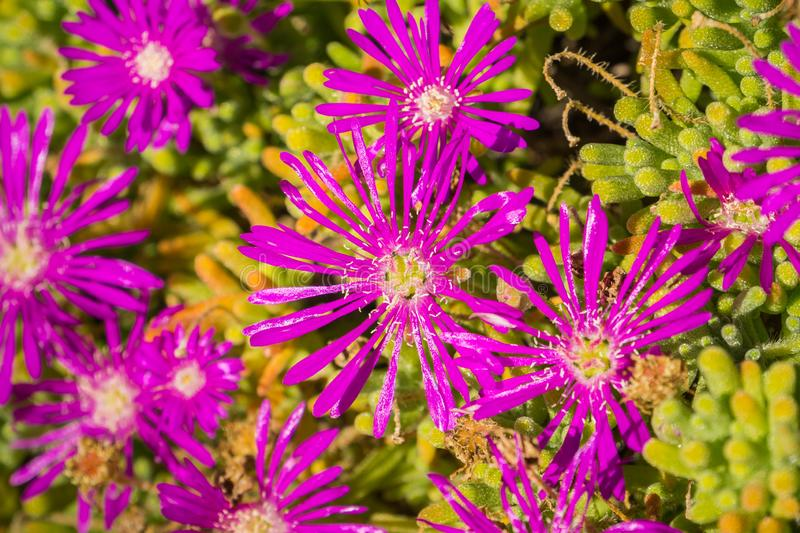 Close up of Trailing Iceplant Delosperma cooperi, California royalty free stock images