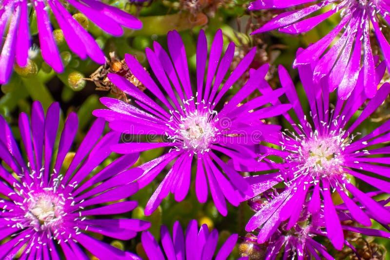 Close up of Trailing Iceplant Delosperma cooperi, California royalty free stock photo