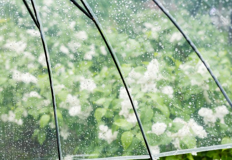 Close up Transparent Umbrella with water drops during the rain with green leaves tree on the blur background. Rainy weather stock photography
