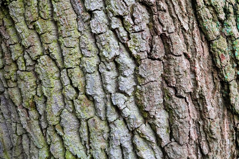 Close up of tree bark. Close up of old English oak tree bark with cracks and fissures royalty free stock photos