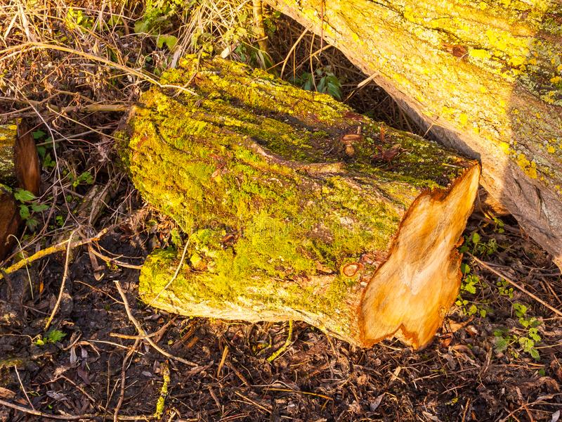 Close up of tree bark stump with green moss growing on bark on g stock image