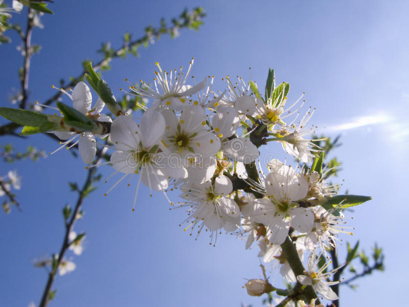 Close up tree blossoms against blue sky stock images