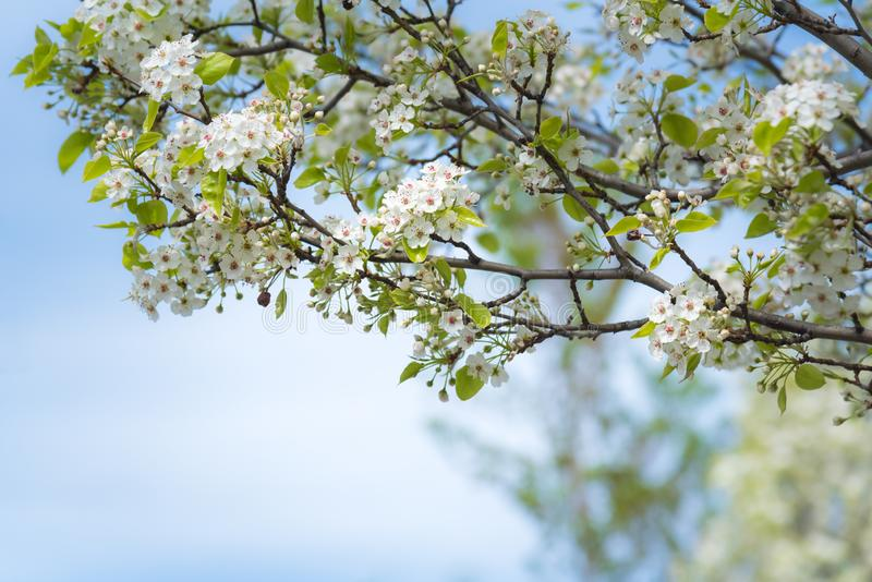 Close-up of tree branches covered in white flowers with blue sky in background royalty free stock photography