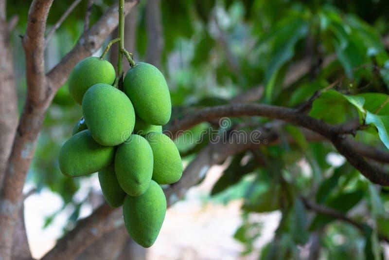 Close up tree with green mango fruit stock photos