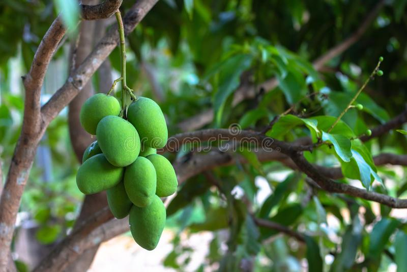 Close up tree with green mango fruit royalty free stock image