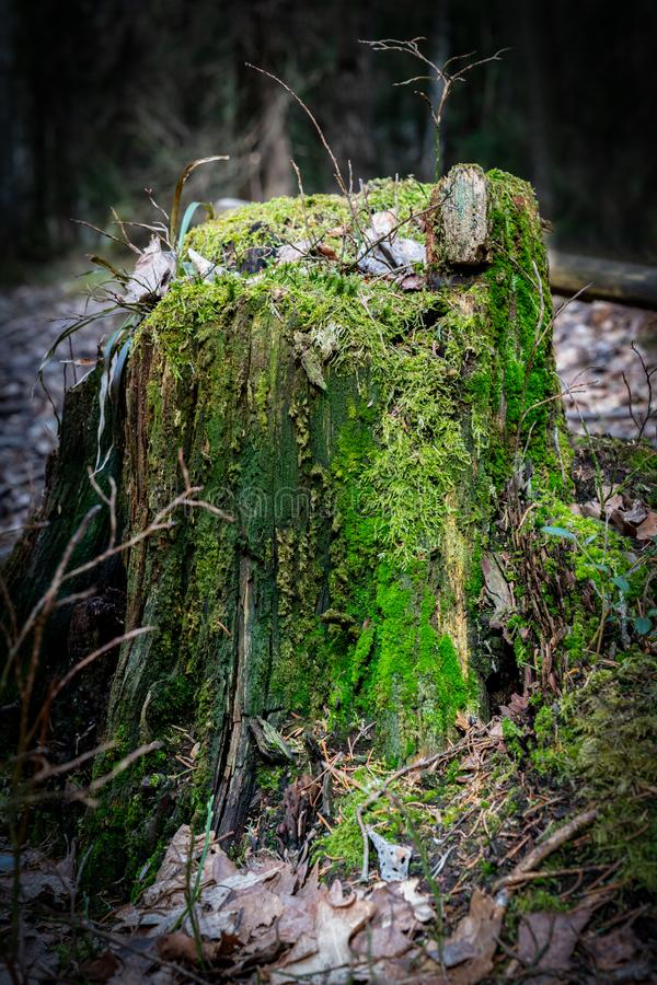 Close-up of a tree stump with green moss in the forest with sunlight. stock image