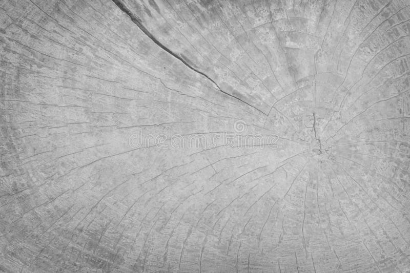Close up tree stump patterns ,Natural wooden texture white or gray background. Gray royalty free stock image