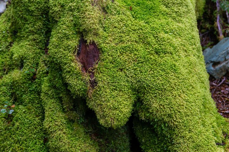 Close up of tree trunk covered with green soft moss. NAture background royalty free stock photo