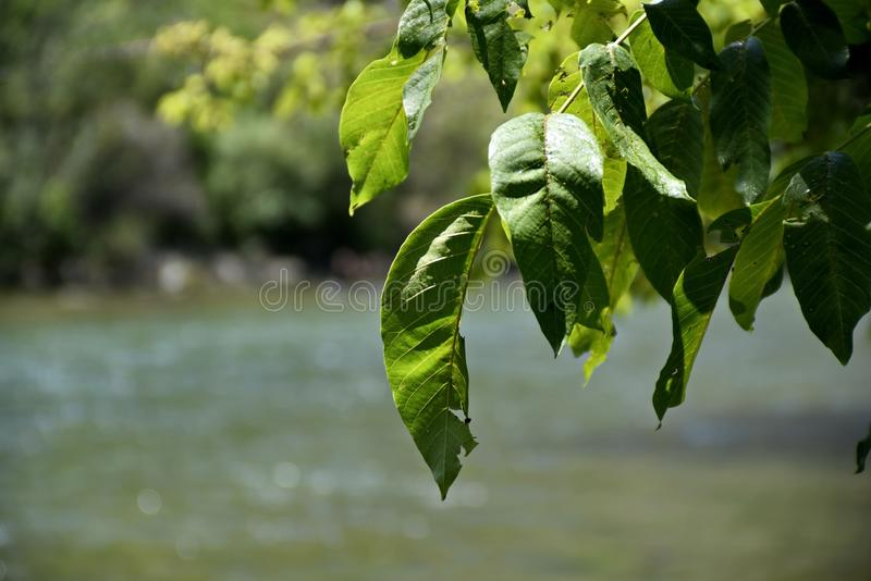Close-up trees leaf at the Zayandeh rood Zayanderud, Esfahan, Iran.  royalty free stock photography