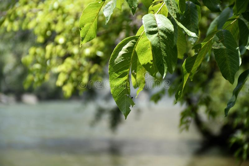 Close-up trees leaf at the Zayandeh rood Zayanderud, Esfahan, Iran.  royalty free stock photos