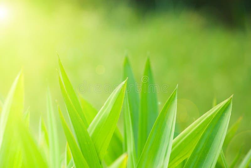 Close up treetop of pandanus leaves in garden. The herb of pandanus tree used  flavor in Thai food. stock images