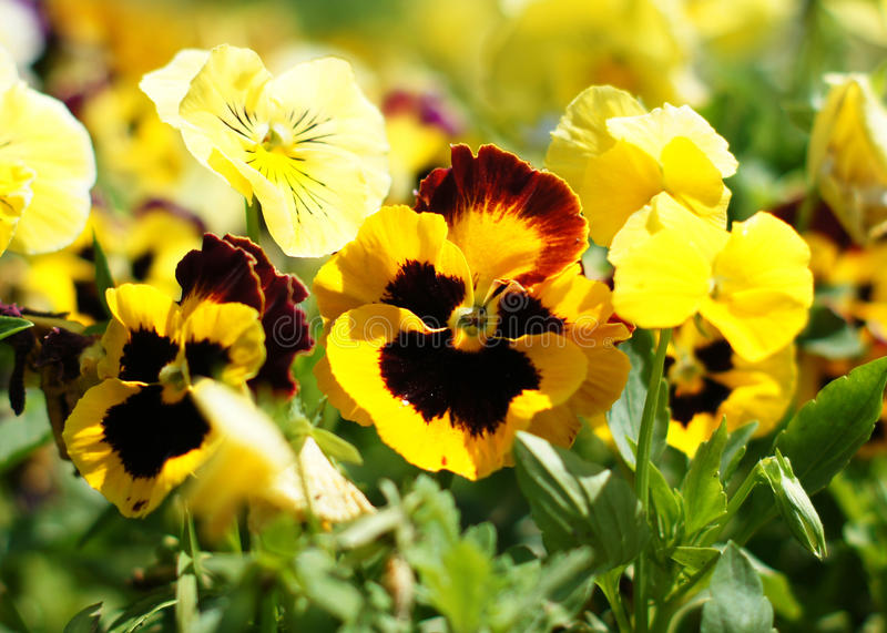 Close up of tricolor violas. Flowers in the garden royalty free stock images
