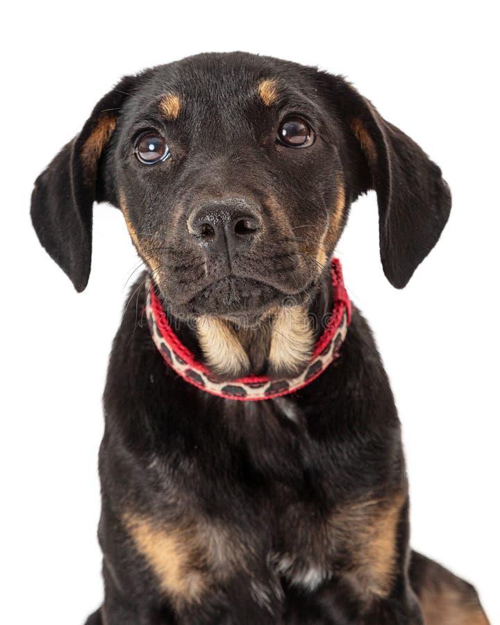 Close up triste da cara do cão de cachorrinho imagens de stock royalty free