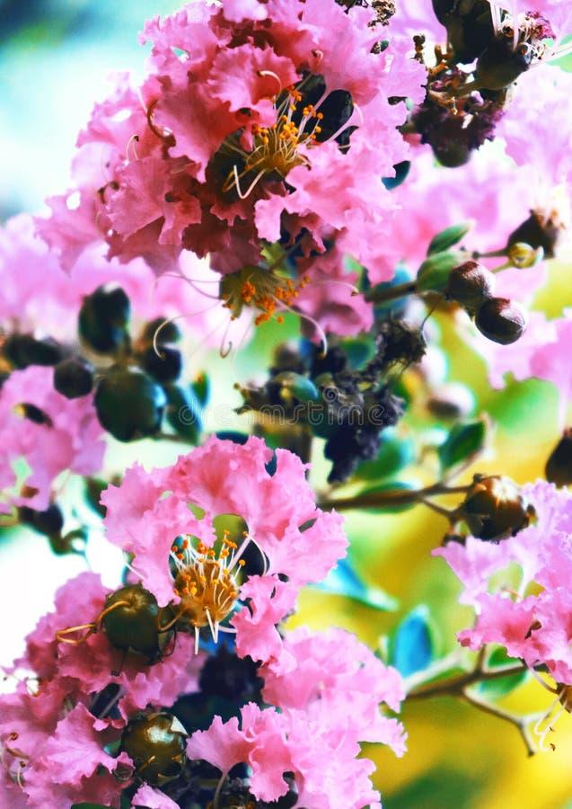 Close up tropical cor-de-rosa ex?tico das flores no pulverizador pairoso da luz suave de flores pequenas na luz da mola fotografia de stock royalty free